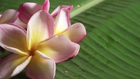 Fleurs roses de frangipani également connues sous le nom de plumeria ou lilawadee tournant sur la feuille de banane banque de vidéos