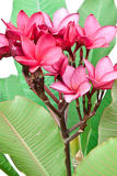 Fleurs roses de Frangipani Photos libres de droits