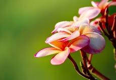 Fleurs roses de frangipani sur le fond vert trouble Image libre de droits