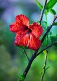 Fleurs roses de frangipani sur le fond vert trouble Images stock