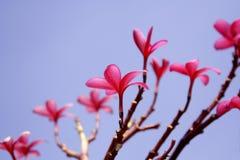 Fleurs roses de frnagipani Photographie stock