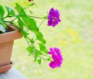 Fleurs roses de géranium Photos libres de droits