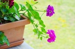 Fleurs roses de géranium Photo stock
