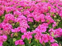 Fleurs roses de géranium dans le jardin Images libres de droits