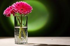 Fleurs roses de gerber Image stock