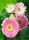 Fleurs roses de gerbera Photo stock