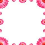 Fleurs roses de Gerbera de trame Photos stock