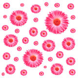Fleurs roses de Gerbera de trame Photographie stock libre de droits