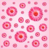 Fleurs roses de Gerbera de trame Image libre de droits