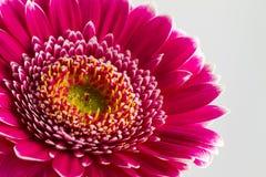 Fleurs roses de gerbera islolated sur le fond blanc images stock