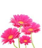 Fleurs roses de Gerberas Images libres de droits