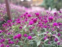 Fleurs roses de globosa de Gomphrena Photographie stock libre de droits