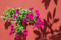 Fleurs roses de gloire de matin Photos libres de droits