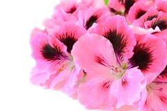 Fleurs roses de géranium Photographie stock