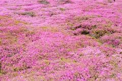 Fleurs roses de groundcover Photo libre de droits