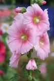 Fleurs roses de hollyhock Photographie stock libre de droits