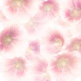 Fleurs roses de hollyhock Photos libres de droits