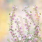 Fleurs roses de hollyhock Images stock