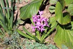 Fleurs roses de jacinthes ou de Hyacinthus commençant à former la transitoire ou les racemes des fleurs photos stock