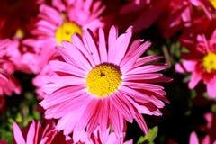 Fleurs roses de jardin Photo stock