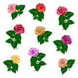 Fleurs roses de jardin de différentes couleurs pour composer des bouquets Images stock