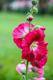 Fleurs roses de ketmie Images libres de droits
