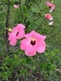 Fleurs roses de ketmie Image libre de droits