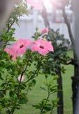 Fleurs roses de ketmie Image stock