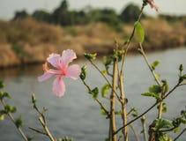 Fleurs roses de ketmie dans le jardin Images stock