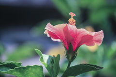 Fleurs roses de ketmie dans le jardin Photos libres de droits
