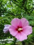 Fleurs roses de ketmie dans le jardin Image libre de droits