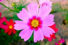 Fleurs roses de Kosmeya Photographie stock libre de droits