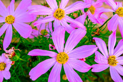 Fleurs roses de Kosmeya Photographie stock