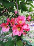 Fleurs roses de la journée de printemps de Chaenomeles Coing du Japon Photos libres de droits
