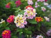 Fleurs roses de lantana Images stock
