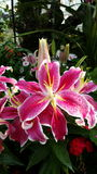 Fleurs roses de lis Photographie stock libre de droits