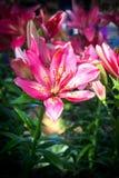 Fleurs roses de lis fleurissant dans le jardin Fond de nature Photos stock