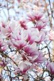 Fleurs roses de magnolia Images libres de droits