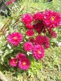 Fleurs roses de maman sur le fond d'herbe Photographie stock libre de droits