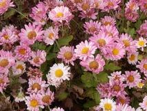 Fleurs roses de marguerite Photo stock