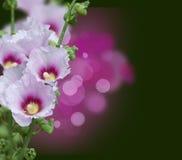 Fleurs roses de mauve Photos libres de droits