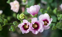 Fleurs roses de mauve Photo libre de droits