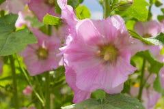 Fleurs roses de mauve Fermez-vous vers le haut de la vue de la floraison une rose trémière f Image stock