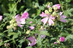 Fleurs roses de mauve de rose trémière ou d'alcea de Malva Photographie stock libre de droits