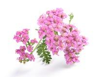 Fleurs roses de millefeuille photo stock