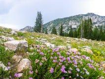Fleurs roses de montagne Photos libres de droits