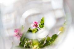 Fleurs roses de pélargonium de géranium sur un fond clair dans la tache floue créative image libre de droits