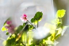 Fleurs roses de pélargonium de géranium sur un fond clair dans la tache floue créative images stock