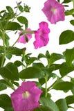 Fleurs roses de pétunia Image stock