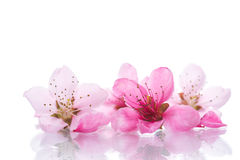 Fleurs roses de pêche Photo libre de droits